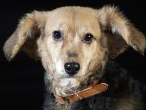 El oro mestizo mestizo italiano de la piel del perro del perro 5975Italian, reviste con cobre Imágenes de archivo libres de regalías