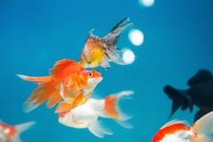 El oro pesca la natación Imágenes de archivo libres de regalías