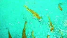El oro pesca nadar en un tanque almacen de video