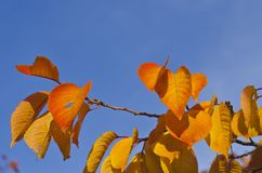 El oro y las hojas anaranjadas en los árboles imagen de archivo