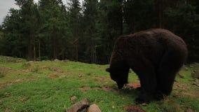 El oso camina en el bosque metrajes