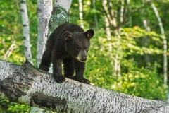 El oso Cub negro joven (Ursus americanus) mira abajo de rama Imagen de archivo