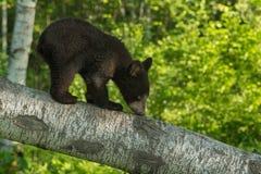 El oso Cub negro (Ursus americanus) huele la rama Fotografía de archivo