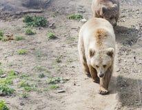 El oso de Brown en Domazhyr lleva el santuario, Lviv, Ucrania imagen de archivo libre de regalías