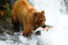 El oso de Brown está cogiendo salmones Fotografía de archivo