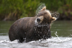 El oso de Brown sacude su cabeza de la pesca de color salmón del tiempo Fotos de archivo