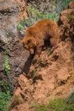 El oso de Brown sube abajo la roca roja escarpada Fotos de archivo