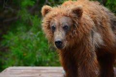 El oso de Brown vino a la gente Foto de archivo libre de regalías