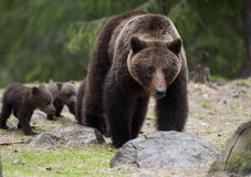 El oso de la madre con sus pequeños cachorros Fotografía de archivo libre de regalías