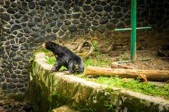 El oso de miel asiste en lado de una piscina secada en Jakarta admitida foto Indonesia Imagen de archivo