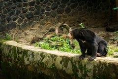 El oso de miel se sienta en el lado de una piscina secada que ve algo adentro en Jakarta admitida foto Indonesia Fotos de archivo libres de regalías