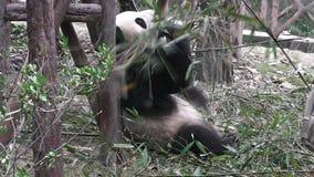 El oso de panda gigante almacen de metraje de vídeo