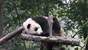 El oso de panda gigante metrajes