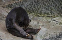 El oso de Sun que cubre el suyo observa la ocultación Foto de archivo