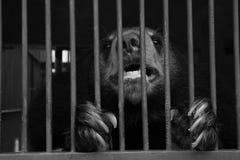 El oso del sol de Malayun vive en cueva Fotos de archivo