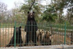El oso derecho y otro lleva en el parque zoológico Imagen de archivo