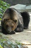 El oso el dormir fotografía de archivo