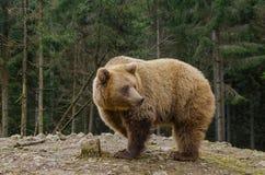 El oso está buscando la primavera en el bosque Fotografía de archivo libre de regalías