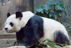 El oso gigante del panda, o de bambú Imagen de archivo libre de regalías