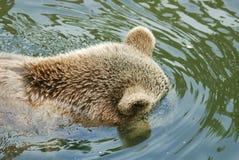 El oso grizzly Foto de archivo libre de regalías