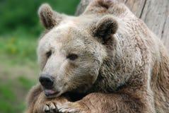 El oso grizzly Imagen de archivo