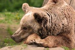 El oso grizzly Fotos de archivo libres de regalías