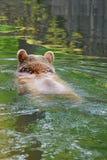El oso grizzly Foto de archivo