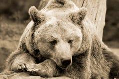 El oso grizzly Fotografía de archivo libre de regalías