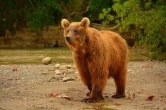 El oso marrón que camina en la orilla Fotografía de archivo