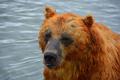 El oso marrón que se sienta en el agua Foto de archivo