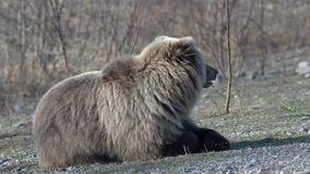 El oso marrón salvaje hambriento de Kamchatka miente en piedras, respira pesadamente la mirada alrededor almacen de metraje de vídeo