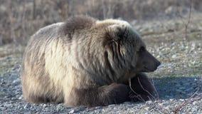 El oso marrón salvaje joven hambriento de Kamchatka miente en piedras y la mirada alrededor almacen de metraje de vídeo