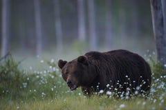 El oso masculino grande Imagen de archivo