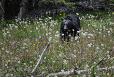 El oso negro come las flores Fotos de archivo