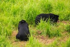 El oso negro Cubs de la parte trasera del primer juega en hierba en parque zoológico Imagenes de archivo