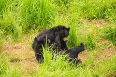 El oso negro Cubs del primer cabriola en hierba en parque zoológico Fotografía de archivo libre de regalías