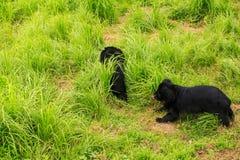 El oso negro Cubs del primer juega en hierba en parque zoológico Fotografía de archivo libre de regalías
