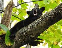 El oso negro del bebé bosteza mientras que él pone en un miembro de árbol. Imagen de archivo