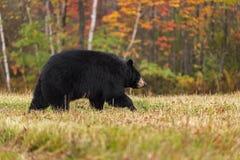 El oso negro (Ursus americanus) camina a la derecha en Autumn Colors Foto de archivo libre de regalías