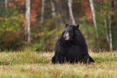 El oso negro (Ursus americanus) se sienta en campo con Autumn Colors Imagen de archivo