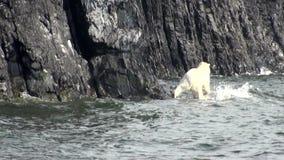 El oso polar blanco camina a lo largo de orilla rocosa del Océano ártico