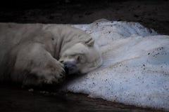 El oso polar duerme en el pedazo pasado de hielo foto de archivo