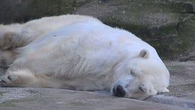 El oso polar está durmiendo almacen de metraje de vídeo
