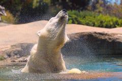 El oso polar prisionero salpica y sacude su piel mientras que nada en un parque zoológico en San Diego California meridional los  Fotos de archivo