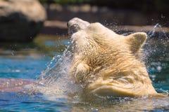 El oso polar prisionero salpica y sacude su piel mientras que nada en un parque zoológico en San Diego California meridional los  Imágenes de archivo libres de regalías