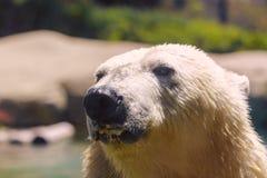 El oso polar prisionero salpica y sacude su piel mientras que nada en un parque zoológico en San Diego California meridional los  Imagen de archivo libre de regalías