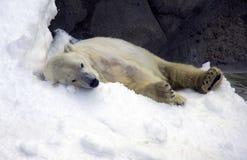 El oso polar que el oso polar es un mamífero con las patas reticuladas, el ártico es el cazador furtivo rojo del libro del parque Imagen de archivo