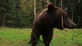 El oso respira en alta voz almacen de video