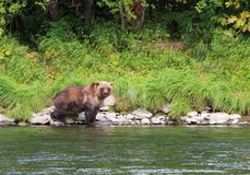 El oso salvaje grande camina por el río imagen de archivo