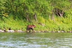 El oso salvaje grande camina por el río fotos de archivo libres de regalías